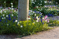 Fritillaries and Grape hyacinths planted around the base of trees in The Lime Walk at Sissinghurst Castle Garden in spring