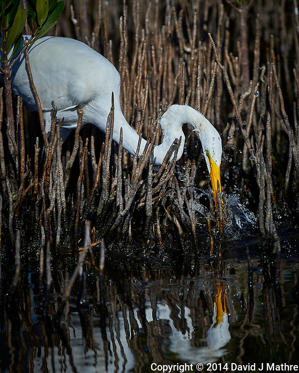 Great Egret. Blackpoint Wildlife Drive, Merritt Island National Wildlife Refuge. Image taken with a Nikon D4 camera and 500 mm f/4 VR lens (ISO 280, 500 mm, f/5.6, 1/4000 sec).