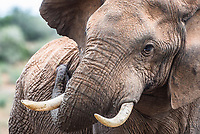 African Elephant Bull, Addo Elephant National Park, Eastern Cape, South Africa