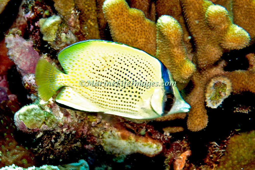 Speckled Butterflyfish inhabit reefs. Picture taken in Palau.
