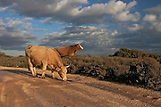 2 bulls grazing in the field