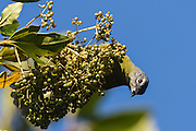 Stripe-cheeked Greenbul feeding on small fruit, Seldomseen, Bvumba, Manucaland Province, Zimbabwe