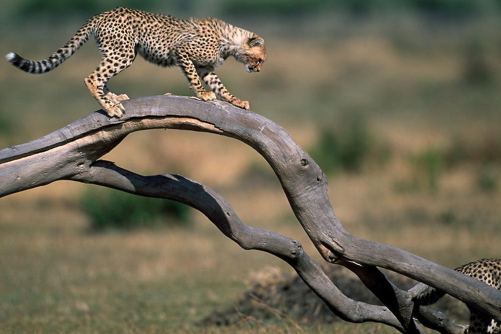 Africa, Kenya, Masai Mara Game Reserve, Cheetah cub (Acinonyx jubatas) plays on down tree branch on savanna