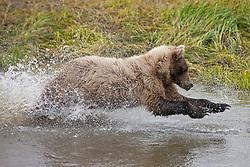 North American brown bear /  coastal grizzly bear (Ursus arctos horribilis) sow fishing in a creek, Lake Clark National Park, Alaska, United States of America