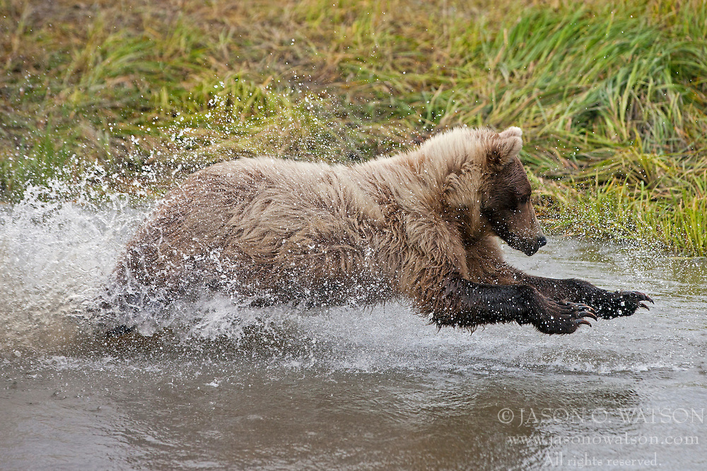 North American brown bear /  coastal grizzly bear (Ursus arctos horribilis) sow fishing in a creek, Lake Clark National Park, Alaska, United States of America