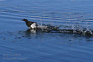 Black guillemot (Cepphus grylle) runs across icy waters gathering enough speed to take flight; Kongsfjorden, Svalbard.