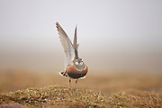 Dotterel (Charadrius morinellus) adult male displaying with wings raised in breeding habitat on upland plateau of Grampian mountains, Cairngorms National Park, Scotland, UK