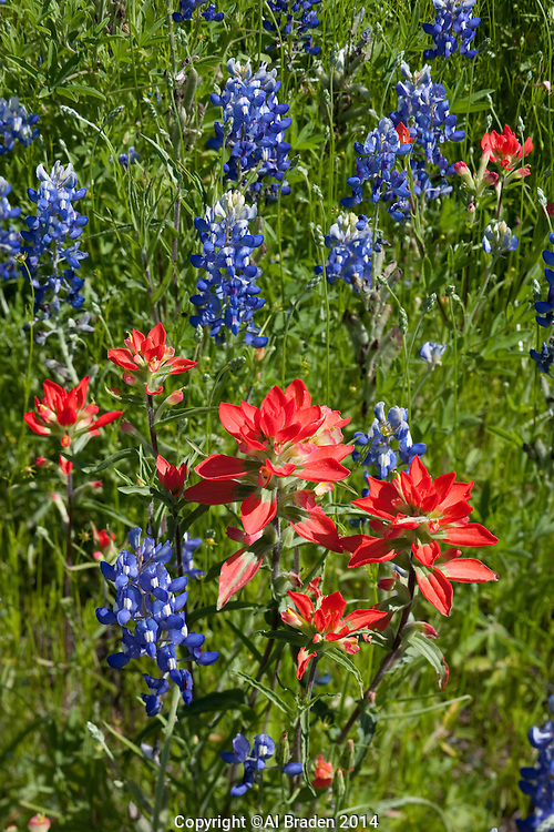 Bluebonnet and Indian Paintbrush, Llano County, Texas