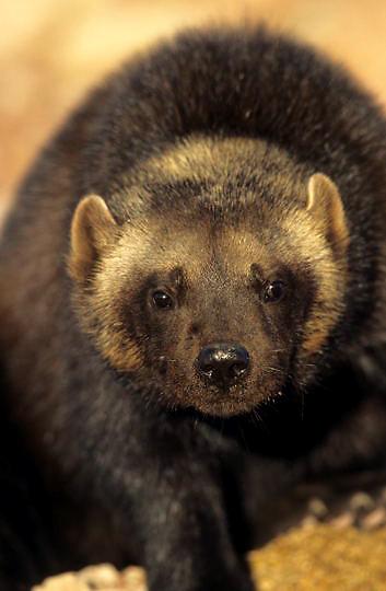 Wolverine, (Gulo gulo) Rocky mountains. Montana. Captive Animal.