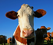 Animals - Cows