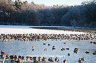 00748-05614 Canada Geese (Branta canadensis) flock on frozen lake,  Marion Co, IL