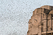 Each year, at the beginning of the autumn, the migration of the common starlings (Sturnus vulgaris) stops in Milan. Every evening the sky over the Central Station is invaded by thousands of birds in flight, after feeding in rural areas.