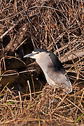 Black Crowned Night Heron on the shores of Lake Murray.  Waiting to walk down the shoreline.
