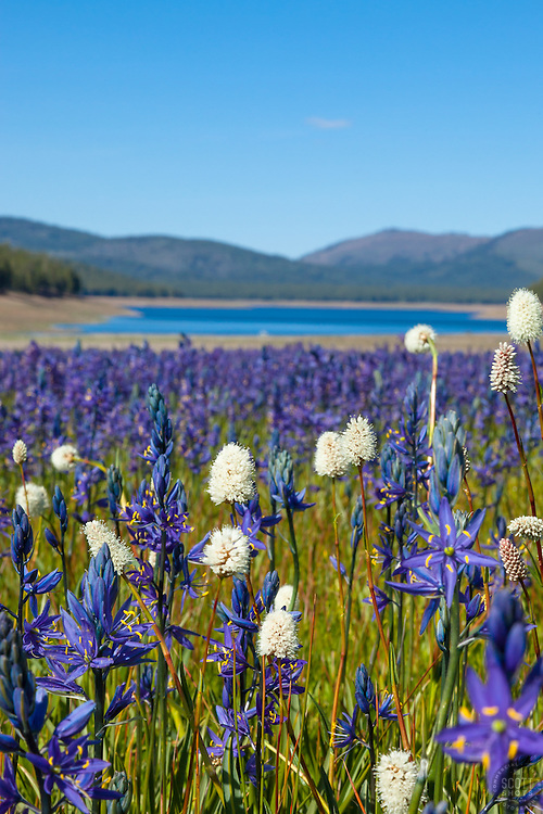 """""""Wildflowers at Sagehen Meadows 2"""" - These Camas wildflowers were photographed at Sagehen Meadows, Stampede Reservoir can be seen in the background."""