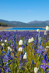 """Wildflowers at Sagehen Meadows 2"" - These Camas wildflowers were photographed at Sagehen Meadows, Stampede Reservoir can be seen in the background."