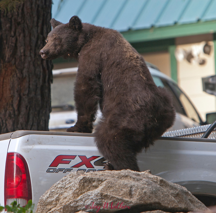 A Black bear climbs into the bed of a pickup truck looking for food in the Yosemite West community on the perimeter of the park.  Finding nothing the animal moved on into the forest.