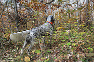Dennis LaBare hunts ruffed grouse and woodcock in northern Wisconsin with one of his young English Setters.