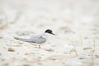 Endangered Damara Tern in amongst coastal dune slacks, De Mond Nature Reserve, Western Cape, South Africa