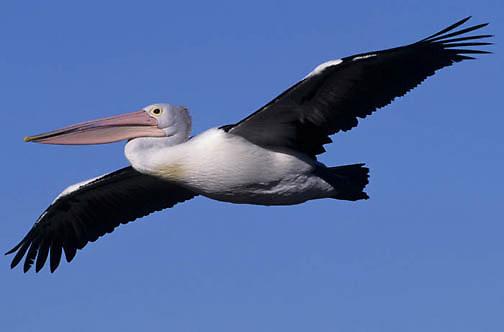 Australian Pelican, (Pelecanus conspicillatus) Australia.