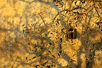 Reportage sul comune di Alessano per il progetto propugliaphoto..Rami di ulivo al tramonto producono ombra sulla parete di un edificio rurale..Macurano è un villaggio rupestre considerato un luogo di scambio e commercio, simbolo della cultura dell'olio per la presenza ad oggi di alcune tracce nelle grotte e di frantoi funzionanti nella zona. L'insediamento è caratterizzato da una serie di grotte sia naturali che scavate nel calcare, cisterne per la raccolta dell'acqua, sistemi di canalizzazione che scendono da Montesardo, viottoli, scalette e vie più larghe con antiche tracce di carri..Si ritiene che in questo sito, un vero e proprio centro abitato ben organizzato distante circa quattro km dalla costa, i monaci basiliani scappati dall'oriente in seguito alla lotta iconoclasta, trovarono rifugio e si dedicarono all'agricoltura..L'area del villaggio rupestre fu sicuramente sfruttata in epoche successive, lo prova l'esistenza di ben tre masserie di cui una fortificata e i resti di una serie di costruzioni che fanno parte dei numerosi esempi di architettura rurale presenti in questo territorio. .Il complesso masserizio, denominato Macurano, edificato probabilmente nel Cinquecento include la Masseria di Santa Lucia e la cappella di Santo Stefano. La Masseria è dominata dal nucleo originario, ovvero dalla torre cinquecentesca coronata da beccatelli a sostegno del parapetto aggettante del terrazzo sommitale.