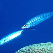 Boga inhabit open water in Tropical West Atlantic; picture taken Grand Cayman.
