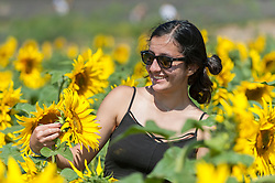 © Licensed to London News Pictures. 17/08/2016. Ickleford, UK.  Student, Ghazal Seidi (15) enjoys the sunflowers in the summer sunshine at Hitchin Lavender farm.  The sunflowers, which have just started to flower, and lavender fields attract visitors who can pick the flowers to take home. Photo credit : Stephen Chung/LNP