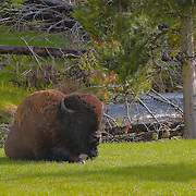 Resting Bison By Stream - Yellowstone National Park
