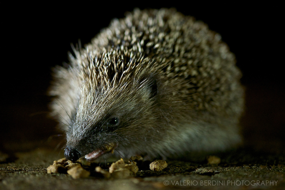 A hedgehog enjoys some crunchies left by the cat in the garden.