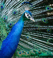 Portrait of a Peacock, (Pavo cristatus), with its feathers spread The Indian peafowl or blue peafowl (Pavo cristatus), a large and brightly coloured bird, is a species of peafowl native to South Asia, but introduced in many other parts of the world.