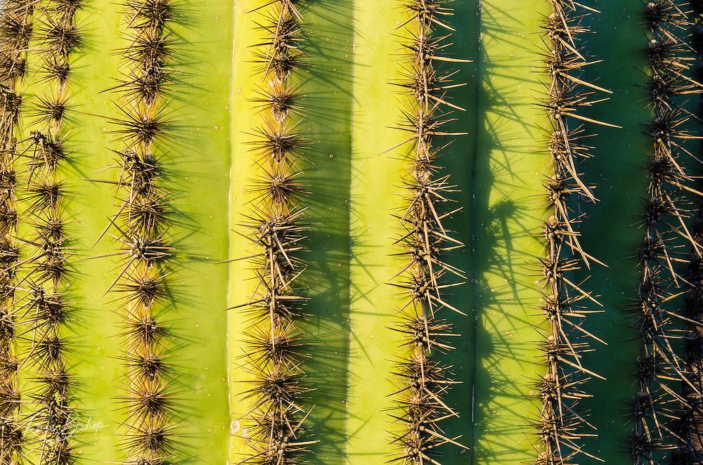 Organ Pipe cactus detail, Organ Pipe Cactus National Monument, Arizona USA