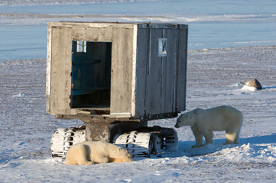 Polar Bear (Ursus maritimus) bears resting in front of the old Muktuk at Cape Churchill, Manitoba