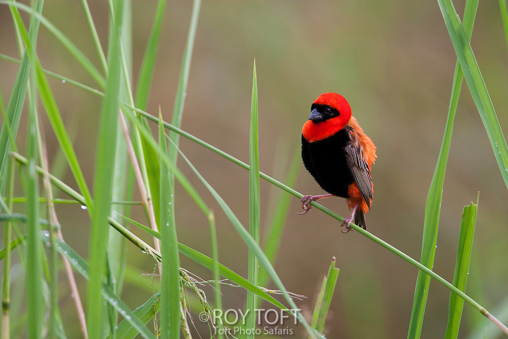 Southern red bishop bird (Euplectes orix) in bright breeding plumage.