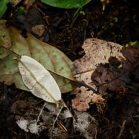 Camouflaged moth (Ausaris sp.)