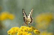 Old World Swallowtail (Papilio machaon) Butterfly shot in Israel, Summer June