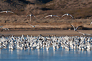 USA, New Mexico, Snow Geese, Sandhill Cranes, Bosque del Apache National Wildlife Refuge