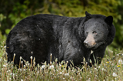 An American black bear (Ursus americanus), eats dandelions just outside the boundary of Kluane National Park and Preserve along Yukon Highway 3, near Gribbles Gulch in the Yukon Territory, Canada. While most of a black bear's diet is vegetation, black bears are omnivores meaning that they eat both plants and animals (grasses, berries, roots, insects, fish and mammals). Black bears typically weight 200 to 600 pounds. Not all black bears are black in color -- some are brown or even blond. They are most easily distinguished apart from grizzly bears by the lack of the pronounced shoulder hump found in a grizzly bear. The black bear is not considered to be a threatened species, though care to keep them from getting human food and garbage is needed to protect them from conflicts with humans. Kluane National Park and Reserve is known for it's  massive mountains, spectacular glacier and icefield landscapes including Canada's tallest peak, Mount Logan (19,545 ft.). The 5.4 million acre park is also known for it's wildlife, including grizzly bears, wolves, caribou and Dall sheep. The park is one of a collection of U.S. and Canadian national and provincial parks that form the largest international protected area in the world. Kluane National Park and Reserve was selected as a UNESCO World Heritage Site for being an outstanding wilderness of global significance. EDITORS NOTE: Image is a slightly cropped version of Image ID: I0000o_hJgKSbYFg