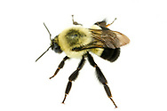 Common Eastern Bumble Bee (Bombus impatiens)<br /> United States: Alabama: Tuscaloosa Co.<br /> Tulip Tree Springs off Echola Rd.; Elrod<br /> 30-Sep-2017<br /> J.C. Abbott #2996