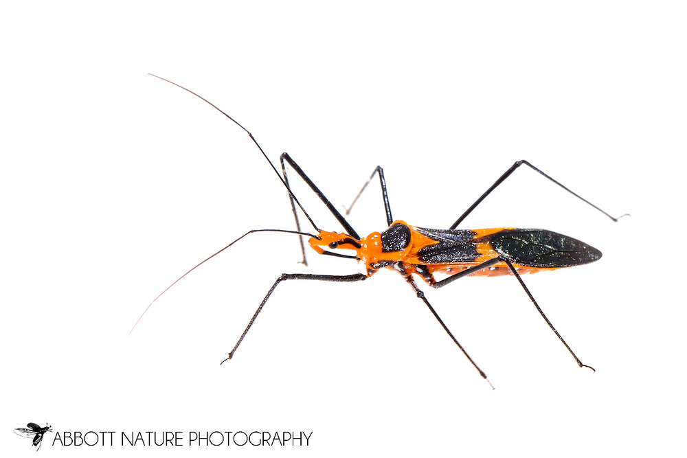 Milkweed Assassin Bug (Zelus longipes)<br /> TEXAS: Jasper Co.<br /> Boykin Springs Recreational Area; Angelina National Forest<br /> Pitcher Plant Bog on gas pipeline easement<br /> 14-Apr-2015<br /> 31.063495 -94.279479 <br /> J.C. Abbott #2725 &amp; K.K. Abbott
