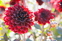 Closeup of red dahlias in bloom.