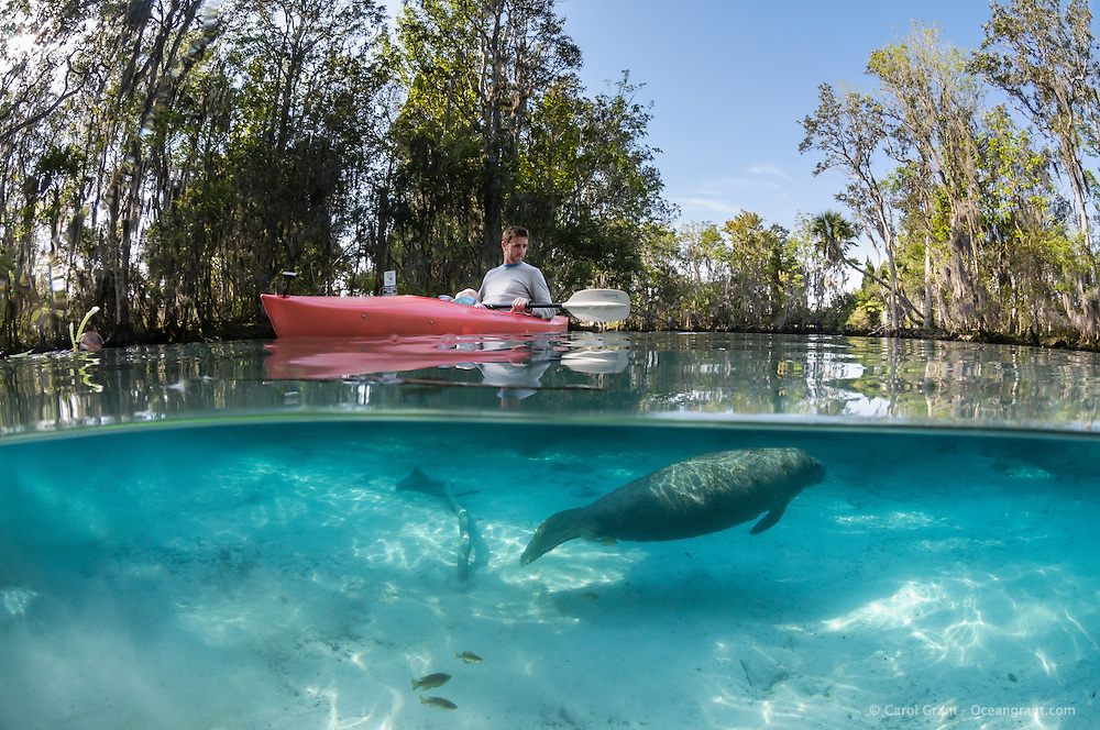 Florida manatee, Trichechus manatus latirostris, a subspecies of the West Indian manatee, endangered. Horizontal orientation split image with sun rays, tranquil and peaceful. A manatee calf is observed by a father with his sleeping daughter in a red kayak. Fish, bream, Lepomis spp., surround the calf in the warm blue water. Three Sisters Springs, Crystal River National Wildlife Refuge, Kings Bay, Crystal River, Citrus County, Florida USA.