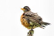 American Robin - Turdus migratorius sitting on a branch all puffed out and singing