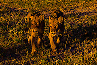 Female lions walking in the bush, Kwando Concession, Linyanti Marshes, Botswana.