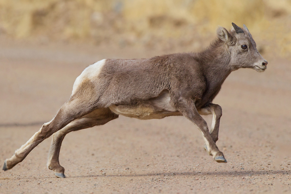 Stock photo of bighorn sheep lamb captured in Colorado.  Within a day of being born, the lamb can walk and climb nearly as well as it's mother.