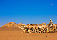 Sudan, Dongola, Sudanese camels herd going to Egypt. Bayuda desert. Two hundred camels walking their groovy walk, accompanied by five camel drivers. Abdul, their chief, explains that they have come from Kordofan, a region in the south, and they are going to Egypt to sell the animals.