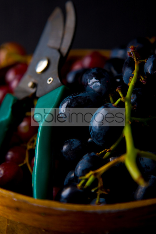 Pruning Shears with Black and Red Wine Grapes