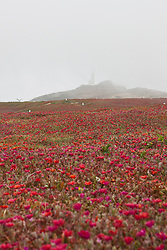 General view of Anacapa Island with red ice plant (Carpobrotus edulis) and light station in fog, Channel Islands National Park, California, United States of America