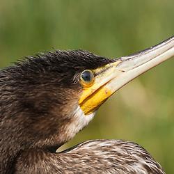 cormorant, aalscholver
