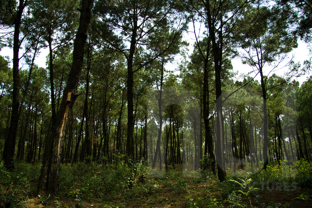Pine forest in the area of Quang Binh province, Vietnam, Asia