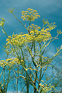 FENNEL Foeniculum vulgare (Apiaceae) Height to 2m<br /> Grey-green, strong-smelling and hairless perennial with solid young stems and hollow older ones. Favours grassy places, mainly near the sea. FLOWERS are yellow and borne in open umbels, 4-8cm across (Jul-Oct). FRUITS are narrow egg-shaped and ridged. LEAVES are feathery, comprising thread-like leaflets. STATUS-Locally common in S.