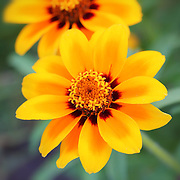 """""""Count the Stars""""<br /> <br /> Just count the stars in the center of this beautiful Zinnia macro!!<br /> Wonderful, vibrant, deep yellow and red hues on a light green background!!<br /> <br /> Flowers and floral images by Rachel Cohen"""